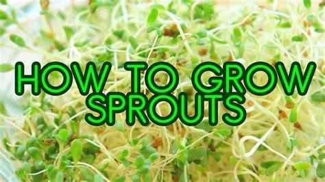 How To Grow Broccoli Sprouts  Wwwpixsharkcom Images