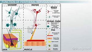 Peripheral Nervous System  Definition  Function  U0026 Parts