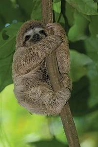 Sloths In Trees | www.pixshark.com - Images Galleries With ...