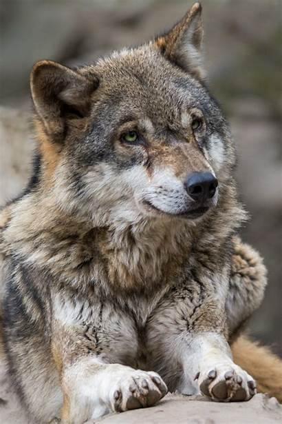 Wolf Fotocommunity Martina Eve