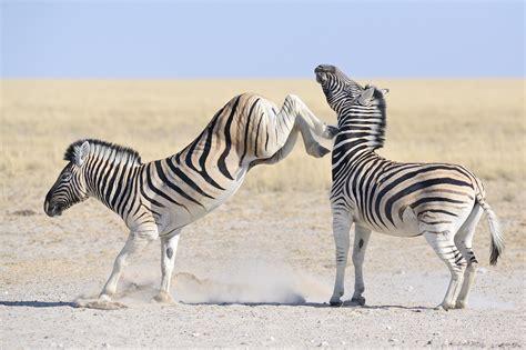 500px Blog » » Zebra Fights Zebra In Wild Waterhole Battle