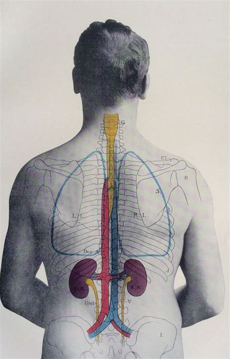 Lower back muscles anatomy graph diagram. Antique 1900s Medical Diagram Scientific Print Human Anatomy Kidneys Back 1908 | eBay ...