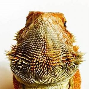 Morphs - Bearded Dragon Dynasty