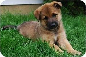 Moses | Adopted Puppy | Naperville, IL | Belgian Malinois ...