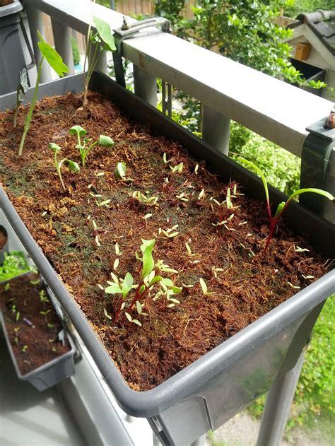 rote beete aussaat rote bete anbauen aussaat pflege und erntezeit plantura
