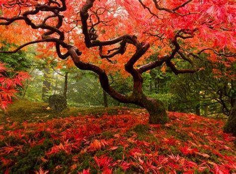 Japanischer Garten Bäume by Japanischer Ahorn B 228 Ume Japanischer Ahorn Garten