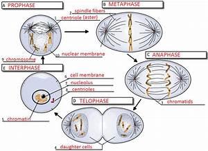 Cumulative Topic 3  Mitosis