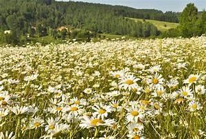 Field of daisies by Tumana-stock on DeviantArt