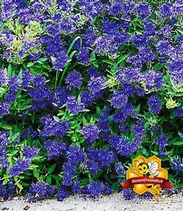 Blühende Sträucher Winterhart : zierstrauch bartblume 39 blauer spatz bl hende str ucher bei baldur garten ~ Whattoseeinmadrid.com Haus und Dekorationen