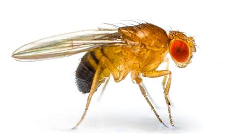 fruit flies   laboratory stories yourgenomeorg