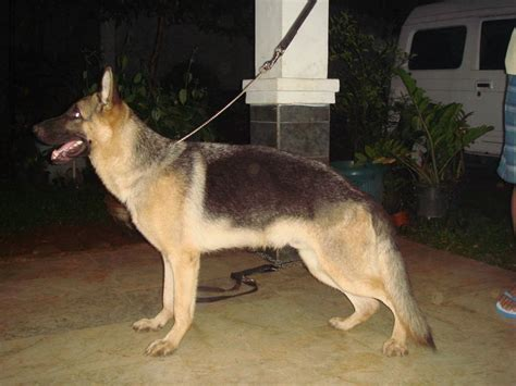 leg shape problem german shepherd dog forums