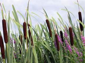 cat tails yes cattails are edible