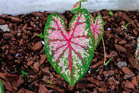 grow caladium   houseplant