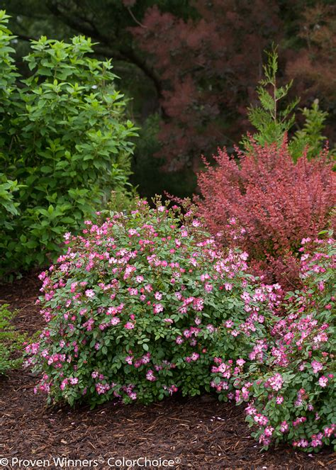 Oso Happy Smoothie Thornless Rose  Pink Flowering Shrubs