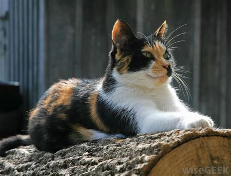 names for calico cats top 28 names for calico cats calico cat names 120 great ideas for naming your calico
