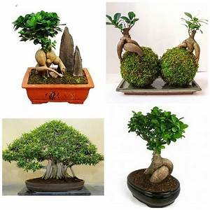 Bonsai Ficus Ginseng : ficus ginseng gu a y cuidados de esta planta bonsai 2017 ~ Buech-reservation.com Haus und Dekorationen