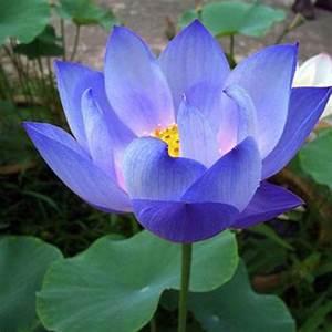 10Pcs Flower Seeds Blue Lotus Seeds Aquatic Plants Water ...