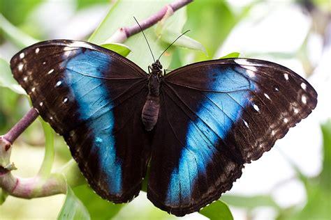 Botāniskajā dārzā tauriņu kolekcijai pievienojas sugas no ...