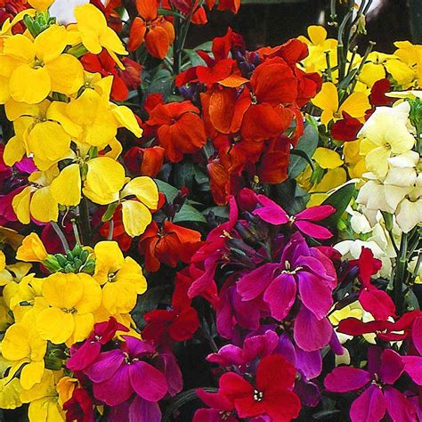 wallflower mix flowers cheiranthus plants plant thompson morgan flower mixed goldlack samen perennial lady cheiri wilder fair bedding biennial