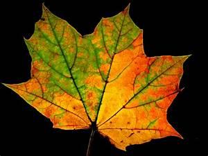 All the Fall Colors in a Single Leaf _0693 | photoholic1 ...
