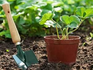 Wann Balkon Bepflanzen : wann pflanzt man erdbeeren die besten pflanztermine der erdbeeren ~ Frokenaadalensverden.com Haus und Dekorationen