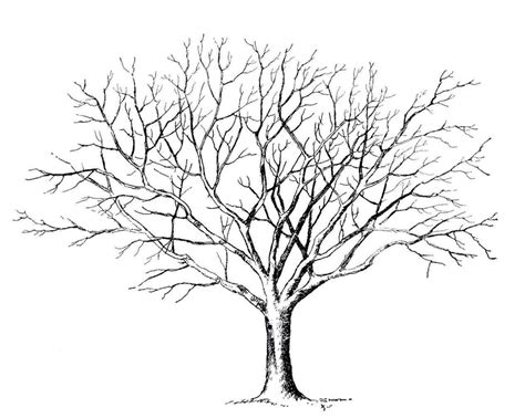 maple tree  drawing  images tree drawing tree