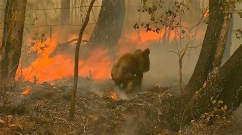 koalaen lewis ble reddet fra flammehavet na er han dod vg