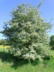 dateiweissdorn bluehendjpg rohkost wiki