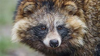 Furry Raccoon 1080 Mammal Snout 1920 Background