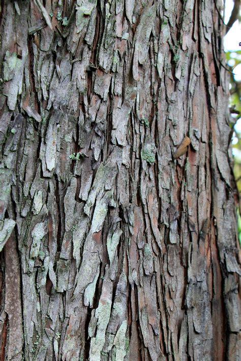cypress tree bark new trees ready for planting shade tree farm