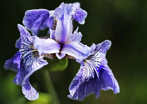 iris plant care irises how to plant grow and care for iris flowers the old farmer s almanac