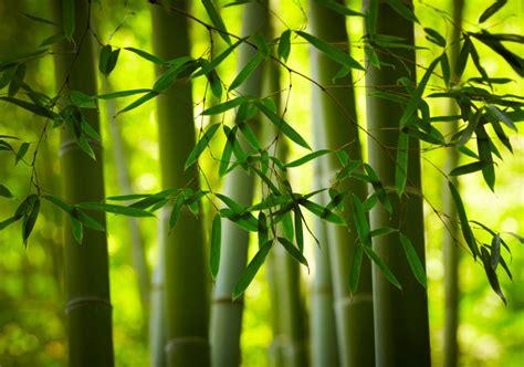 comment planter des bambous avec willemse