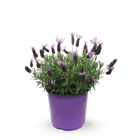 gallon potted english lavender   lowescom