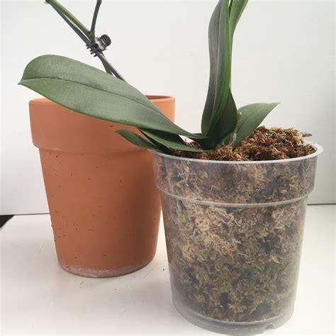 vaso per orchidea orchidee in vaso orchidee orchidee coltivazione in vaso