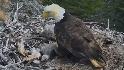 Nest Eagle Earthquake Bald Flying Gifs Standing
