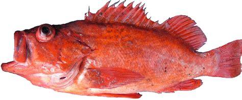 rockfish species vermillion finfish state vermilion sebastes