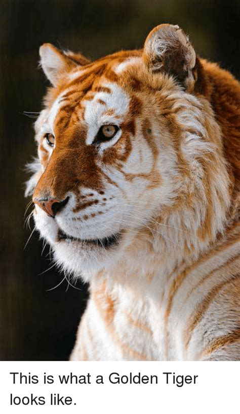 Deres This What Golden Tiger Looks Like Meme Sizzle
