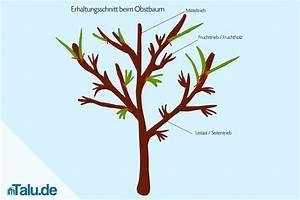 Kirschbaum Richtig Schneiden : obstb ume schneiden so gelingt der obstbaumschnitt ~ Frokenaadalensverden.com Haus und Dekorationen