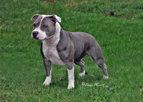 staffordshire pitbull what is a staffordshire bull terrier page 3 of 4 the bully breeds