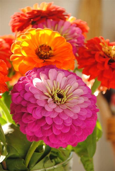 zinnias love  flowers flowers pinterest