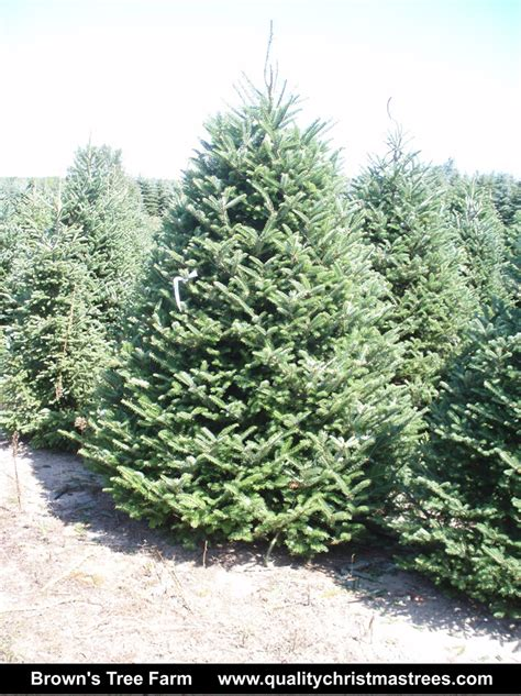 best christmas trees to buy best 28 large real christmas trees real vs 8717