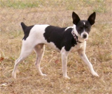 rat terrier personality dog breeds picture