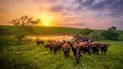 Pasture Cattle Farm Beef Conservationist Kansasbeef Caring