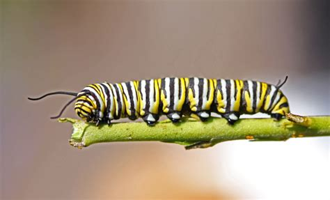 reader photo caterpillar australian geographic