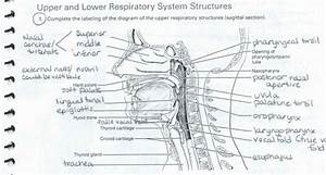 Drag The Labels Onto The Diagram To Identify Respiratory