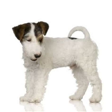 wire hair rat terrier get domain pictures