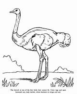 Ostrich Coloring Animal Drawings Drawing Zoo Outline Adult Printable Embroidery Honkingdonkey sketch template