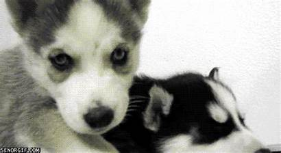 Husky Gifs Puppy Puppies Castiel Topic Crawling