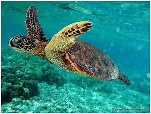 Green Turtle - Facts For Kids, Pictures, Diet, Habitat ...