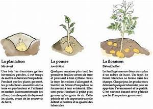Période Pour Planter Les Pommes De Terre : pomme de terre pompadour label rouge pompadour rouge ~ Melissatoandfro.com Idées de Décoration